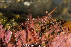 Two cleaning shrimps